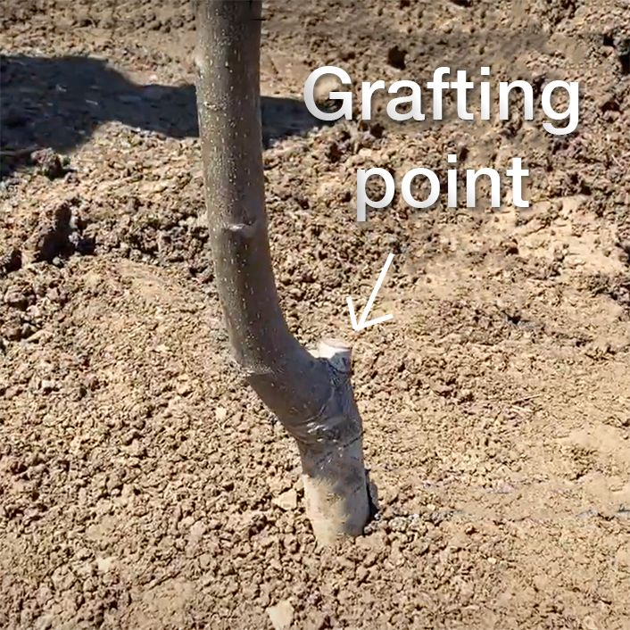 grafting point of walnut trees