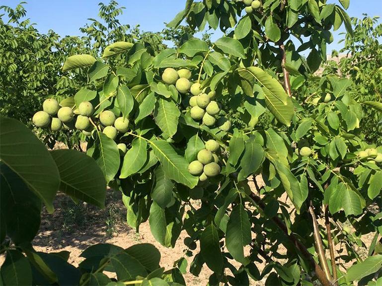 Chandler Walnut Tree Waltree Nursery Turkey