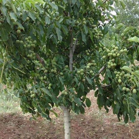 Walnut Trees and Walnut Saplings for Sale | Waltree Nursery Turkey