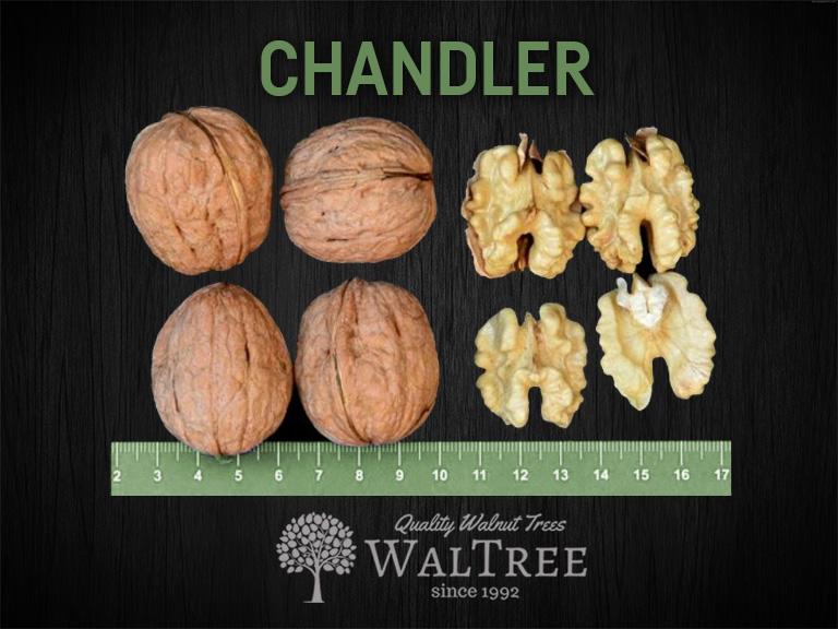 Chandler Walnut Tree | Waltree Nursery Turkey