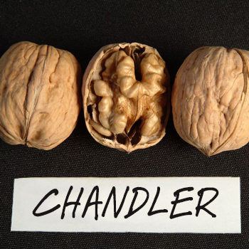 chandler walnut