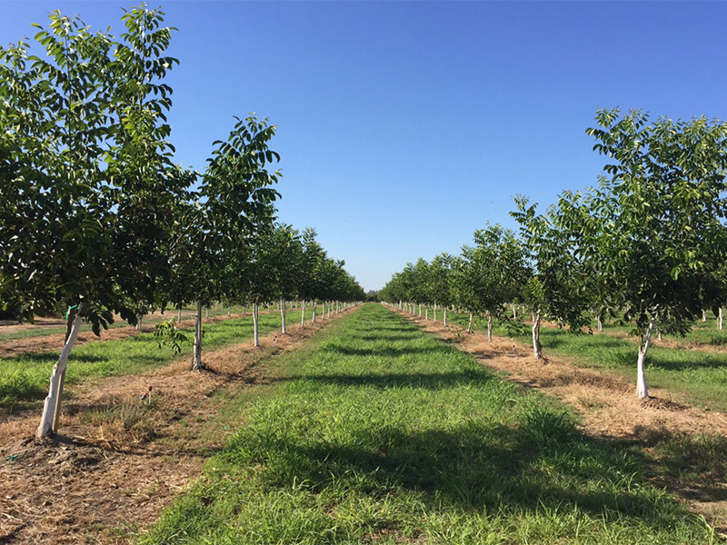 walnut orchard